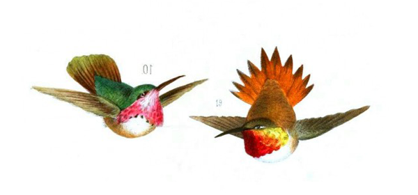 hummingbirds5.png