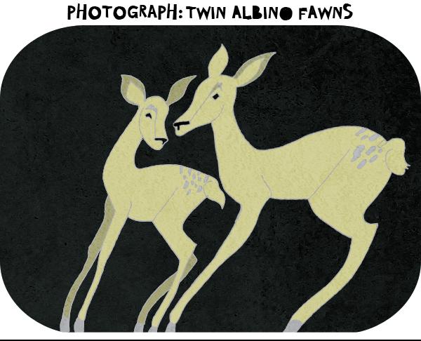 Photograph-twin-albino-fawns.png