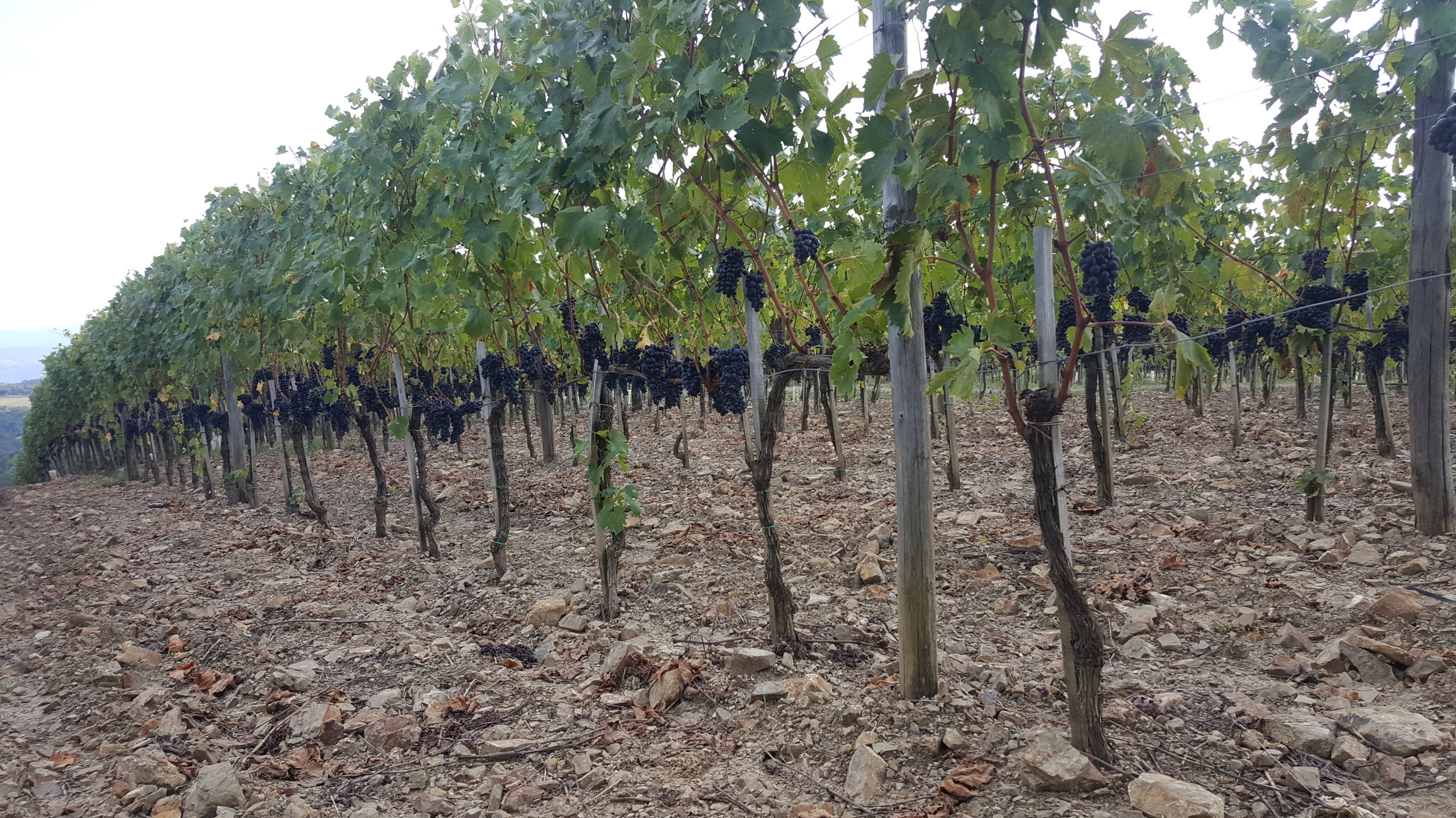 We took a drive down to Montalcino to visit Costanti winery.  Rows & rows of brunello grapes!