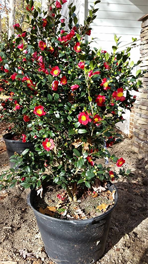 camellia-1.jpg