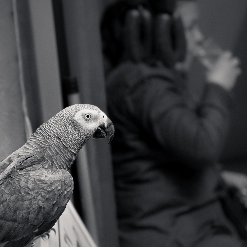 Parrot, Antakya, Turkey