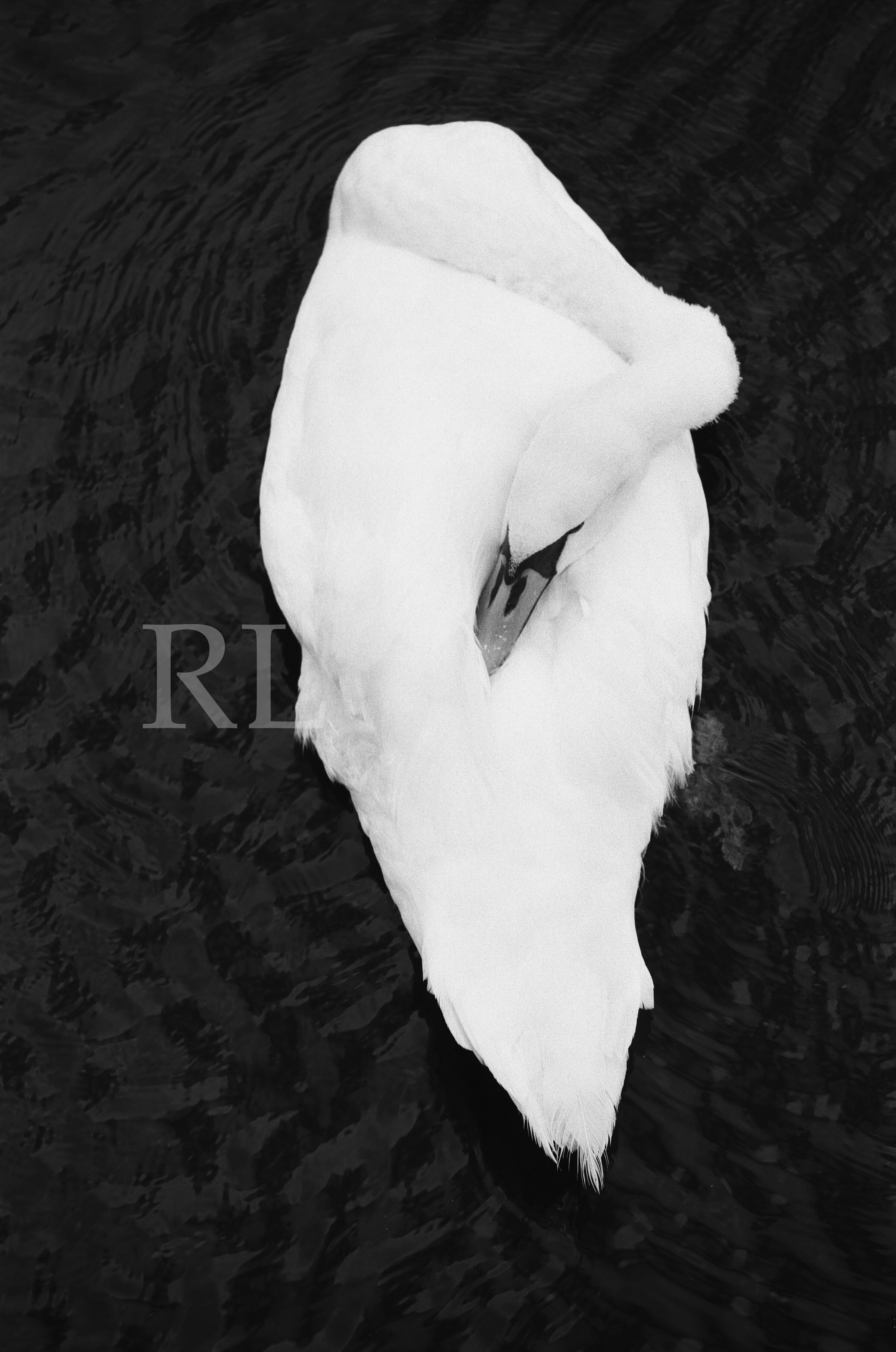 Swan on Galway Bay_WM.jpg