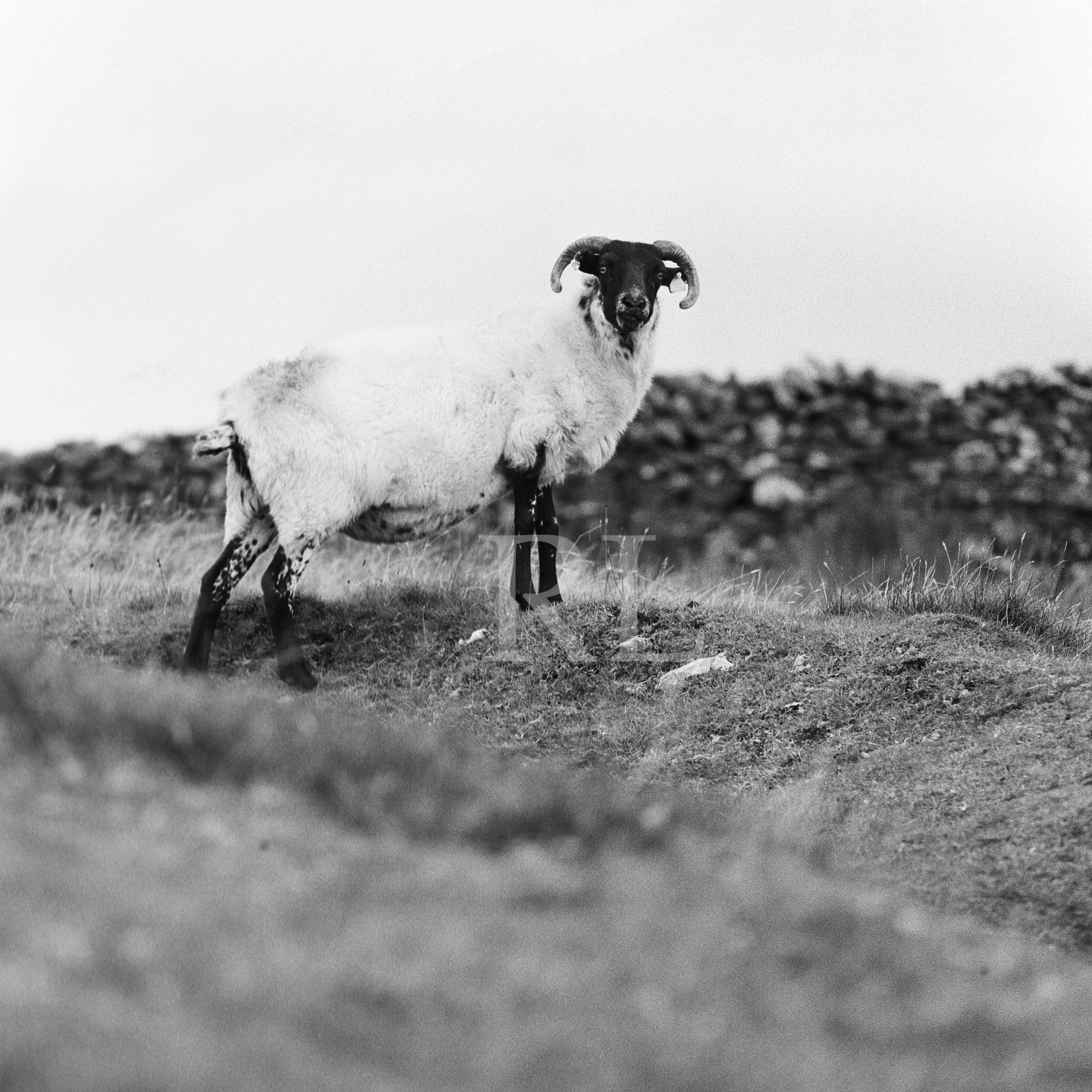 A Ram on clare Island_WM.jpg