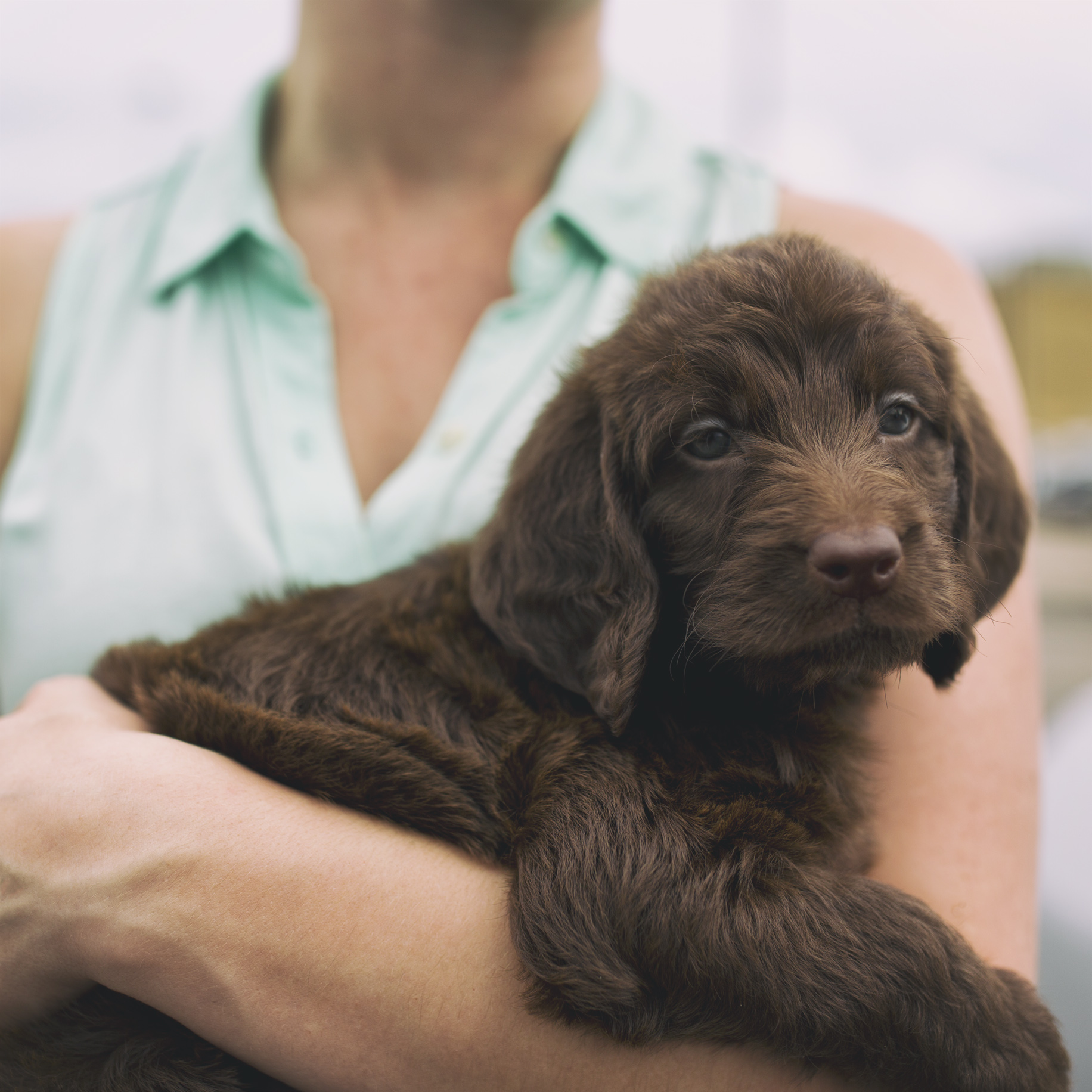 Chocolate Labradoodle Puppy!