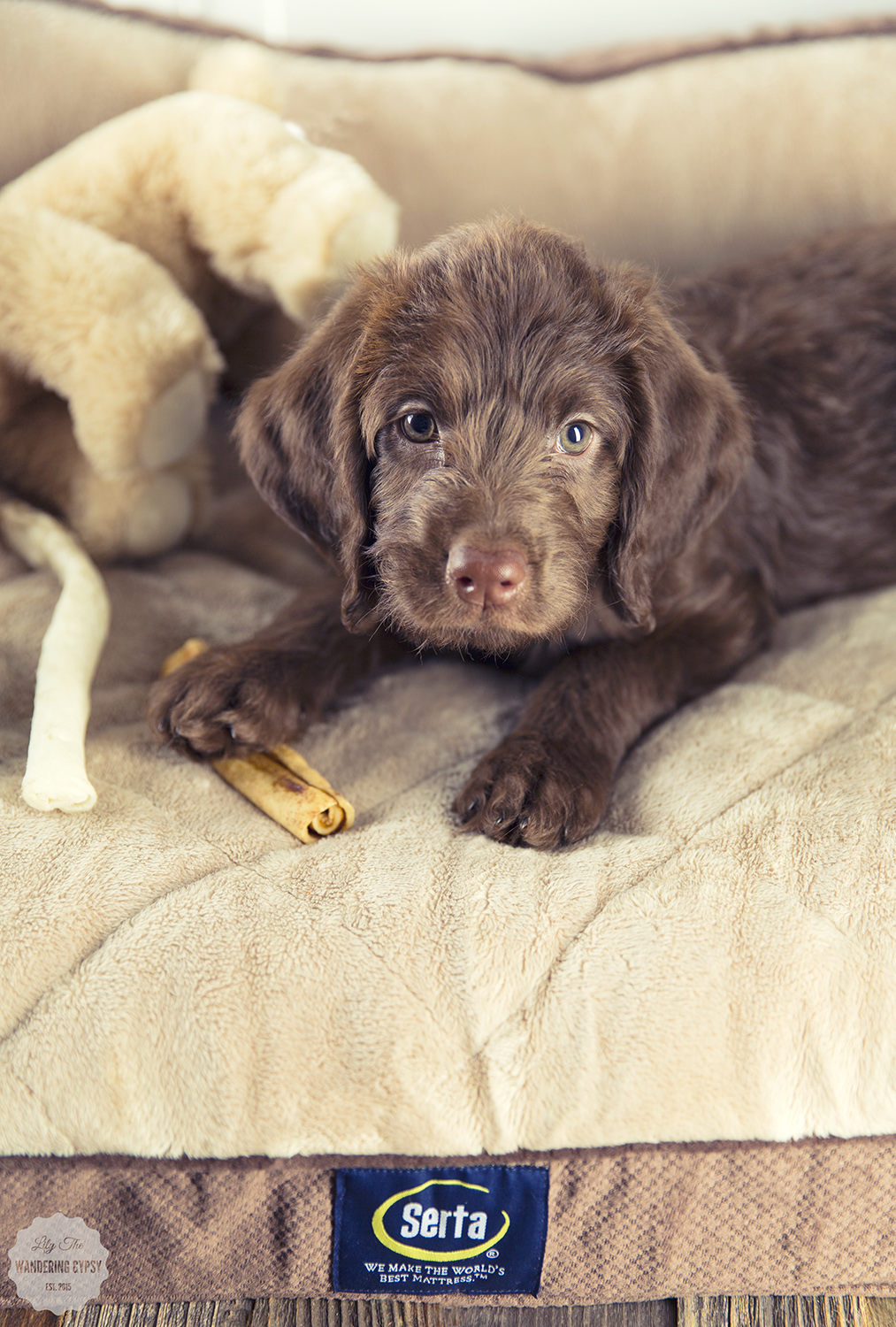 Cute Chocolate Labradoodle Puppy