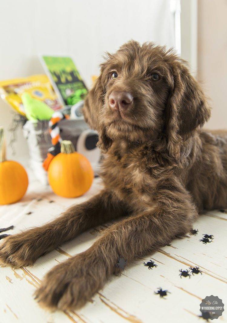 Create a Halloween Puppy Gift Basket