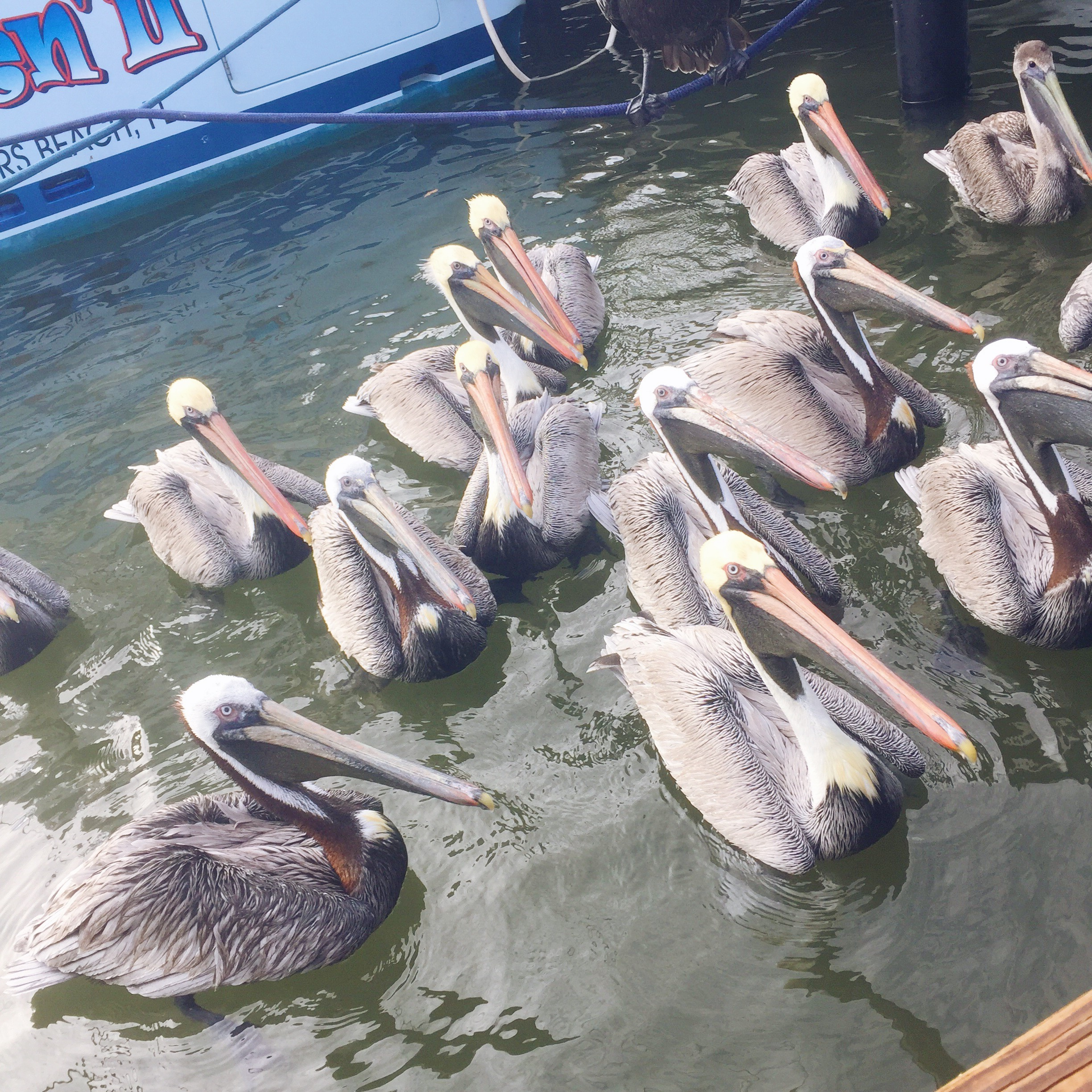 "The pelicans sit waiting for their ""treats"", as the captain of the charter filets your fish for you!"