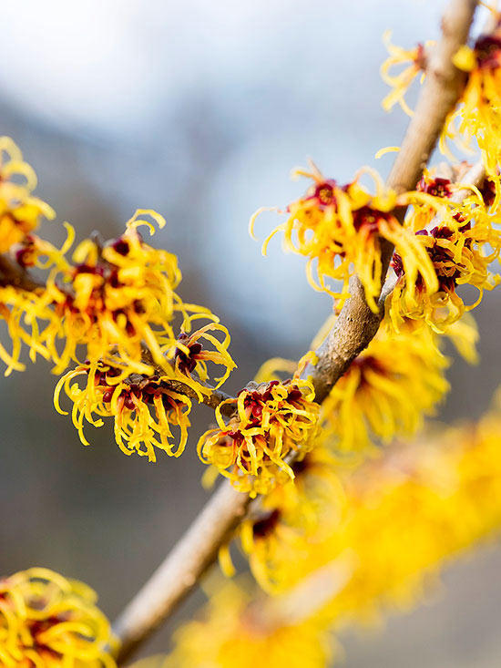 "Here is an image of the Witch Hazel plant,  found here on bhg.com . While there are at least four varieties of the plant, this one is called  ""Sandra"" Witch Hazel."