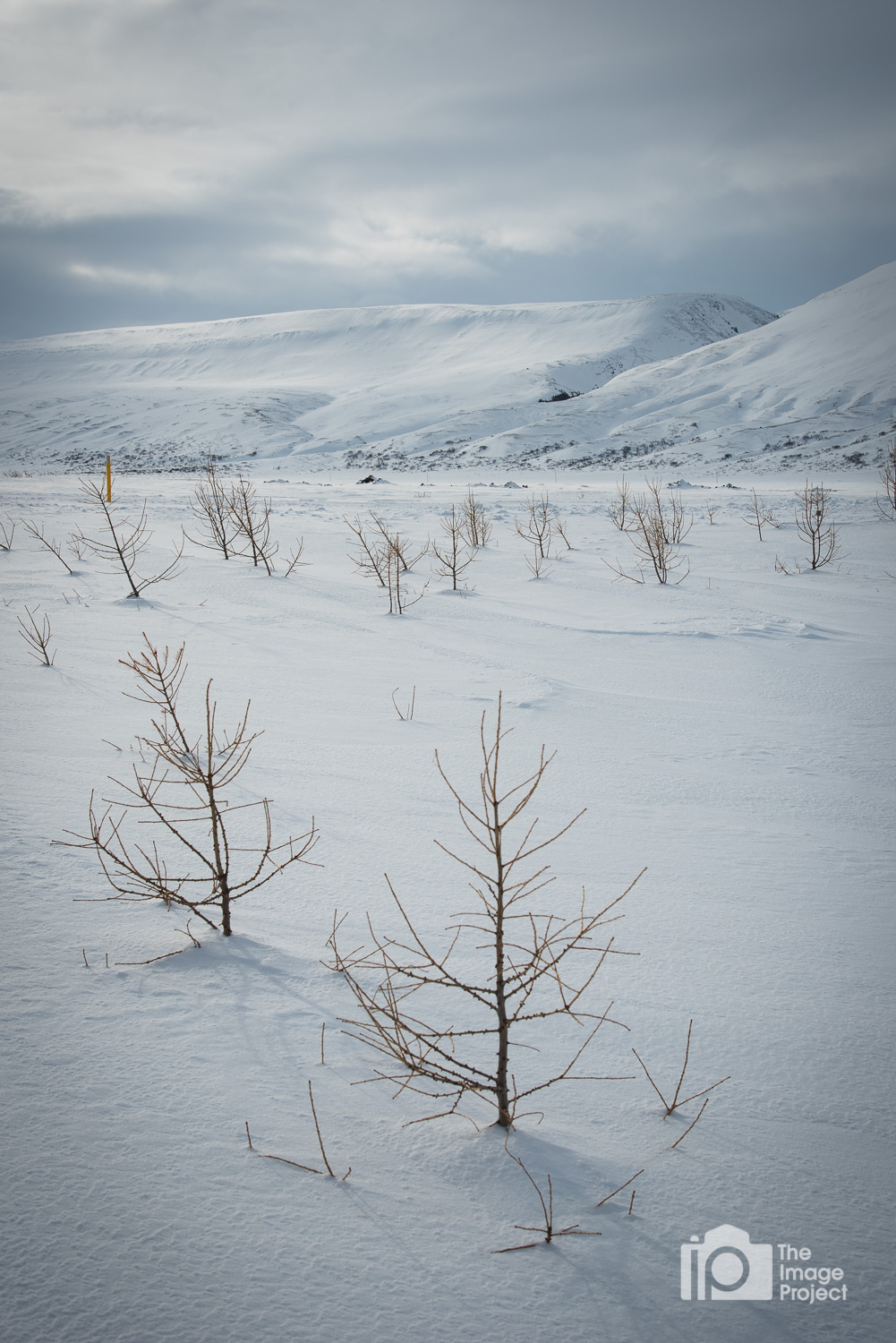 Saplings peeking through the thick snow blanket in small valley, north Iceland