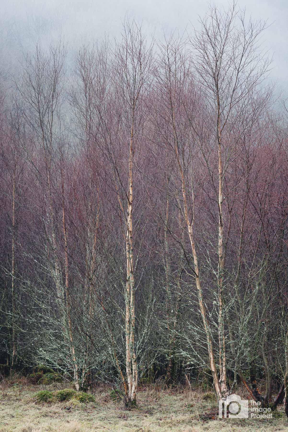 Trio of birch trees, near Capel Curig, March 2018
