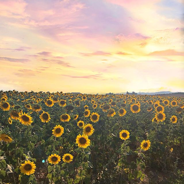 #southoffrance #sunflowers #summervacation