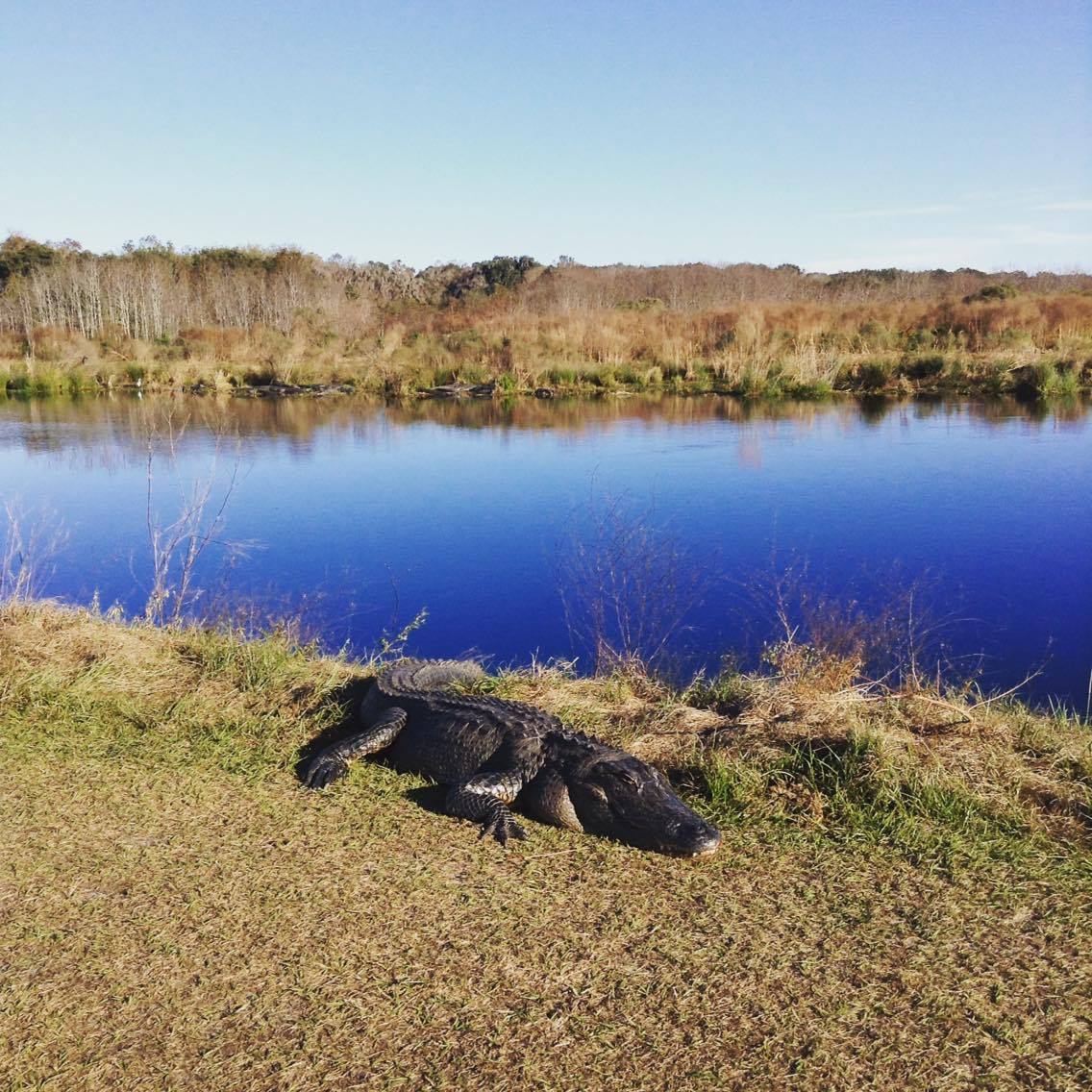 Gators Galore at Payne's Prairie