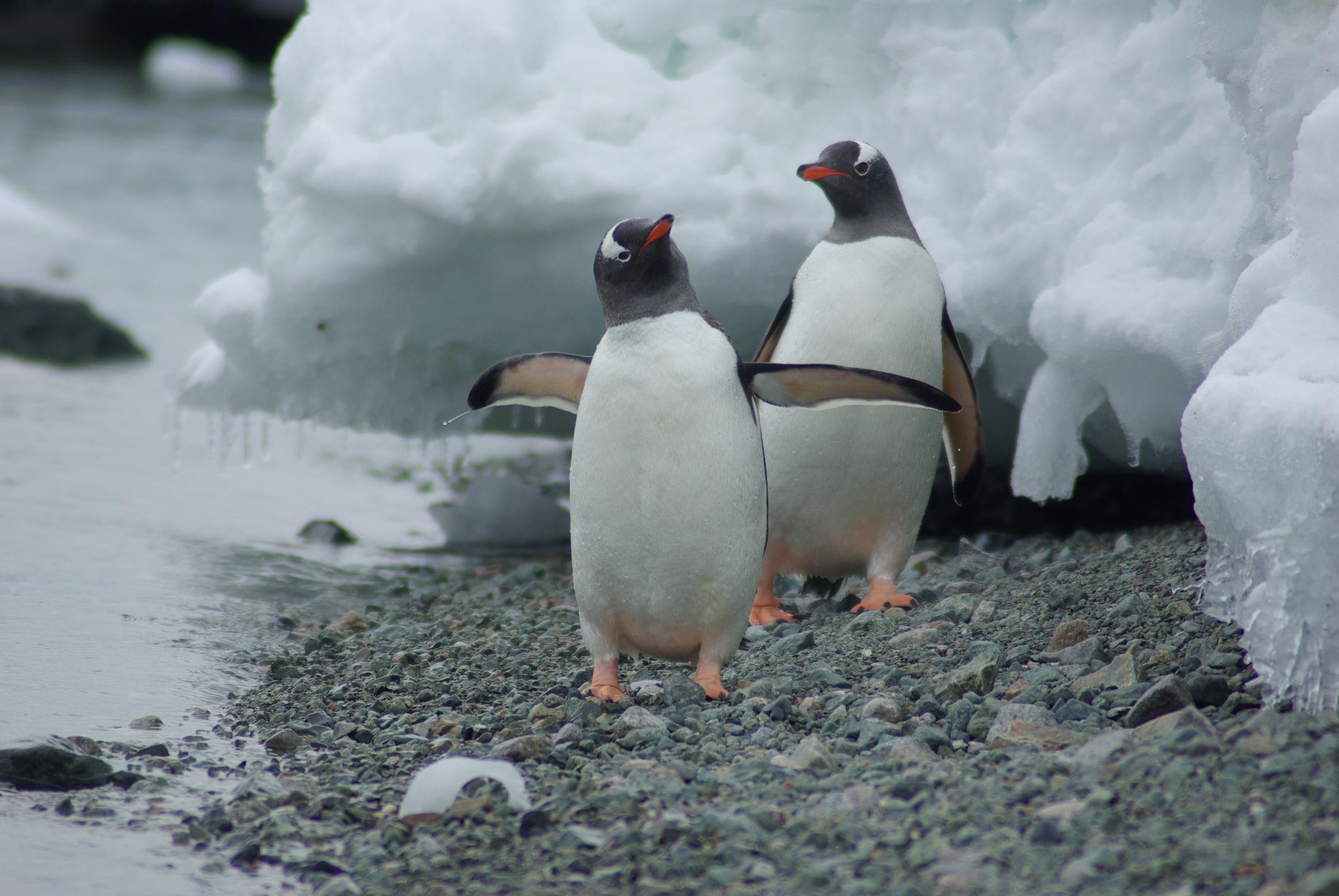 Penguins, Danco Island, Antarctica
