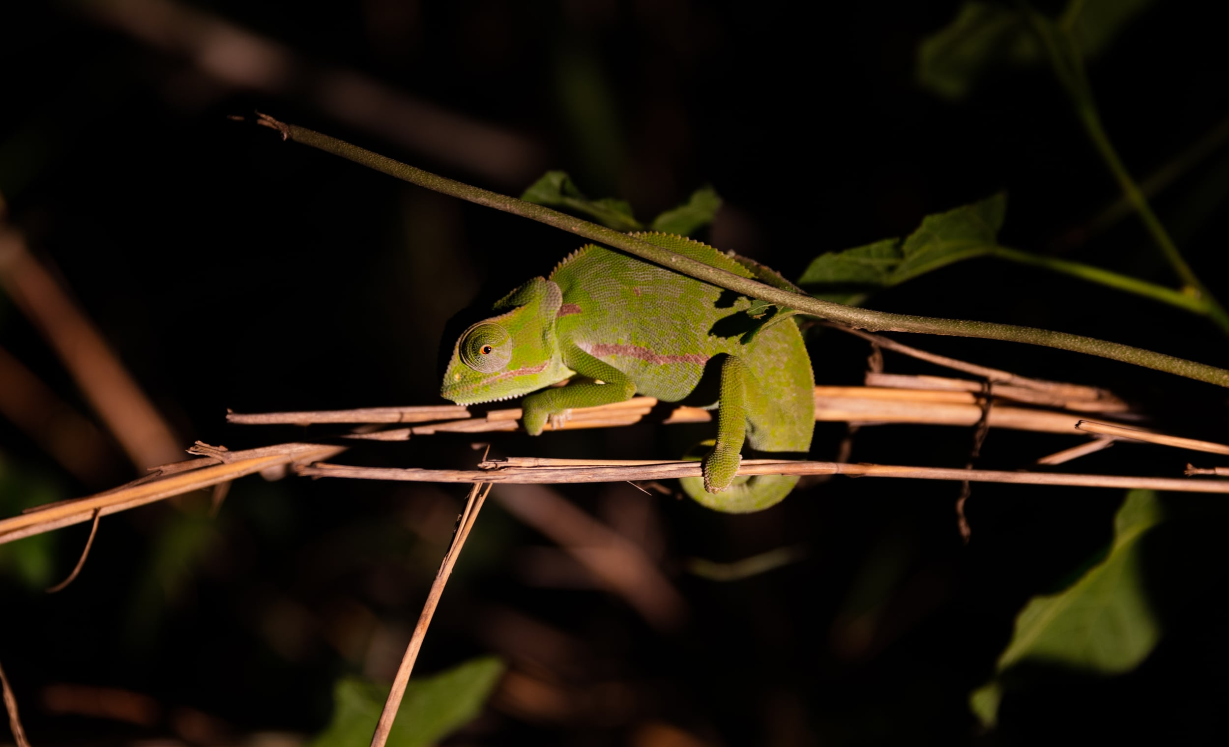 Chameleon,  Sabi Sabi, Kruger National Park, South Africa