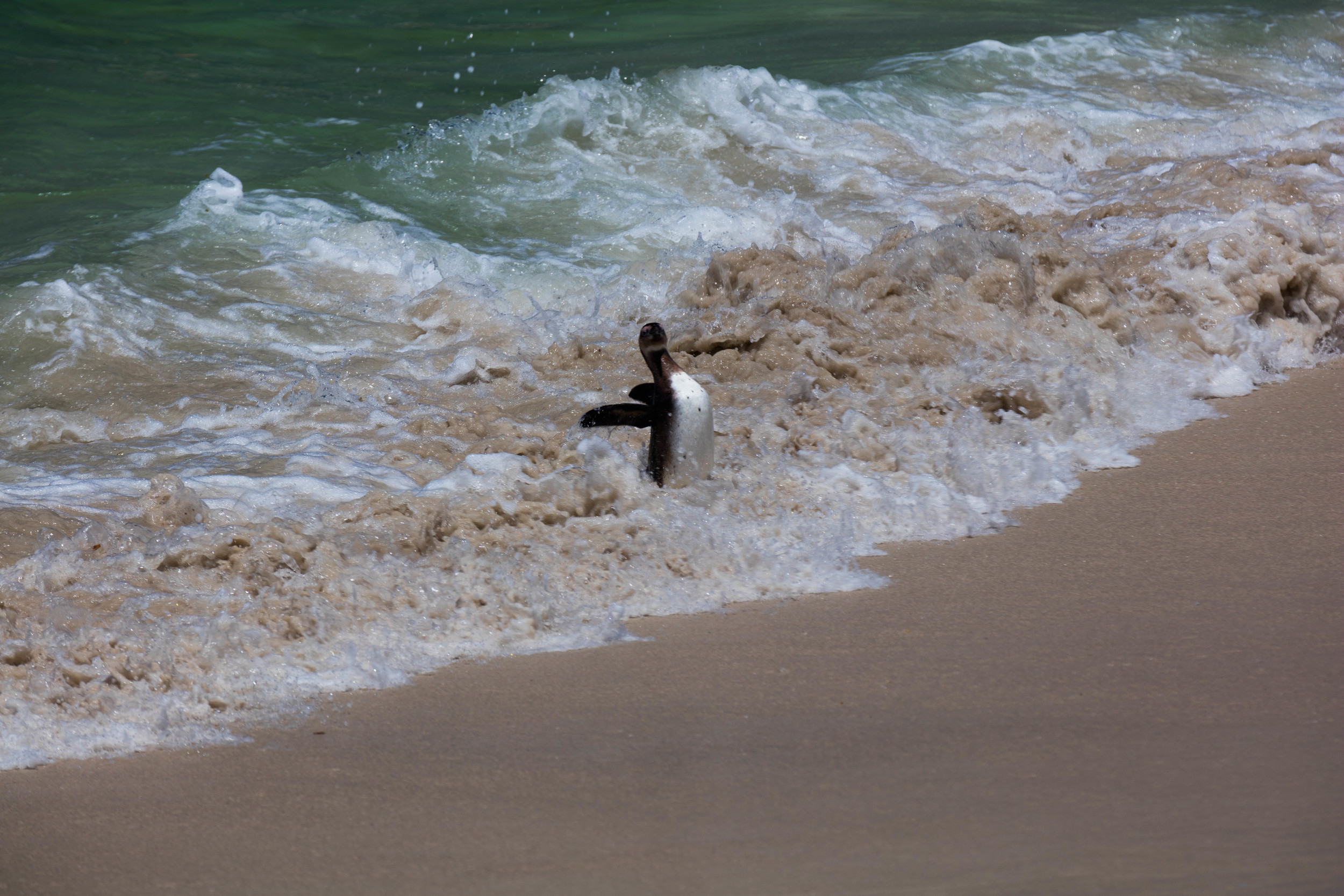 Penguin getting knocked over by a wave, South Africa