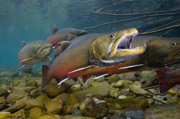 Bull trout 1.jpg