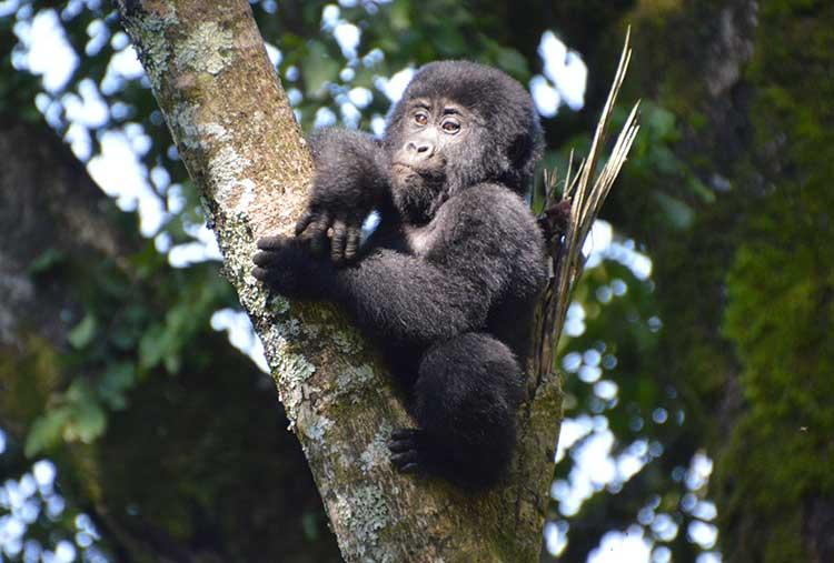 gorilla-tree-750x507.jpg
