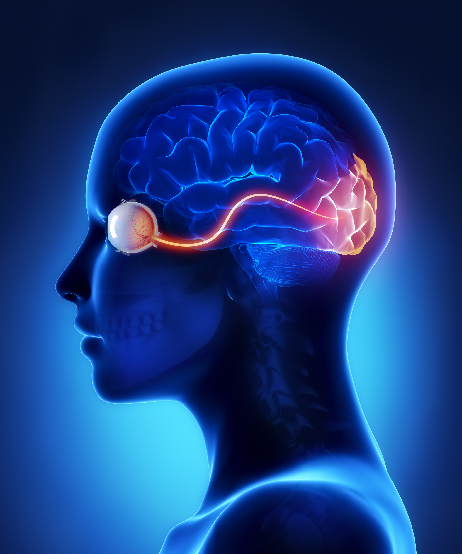 occipital lobe large.jpg