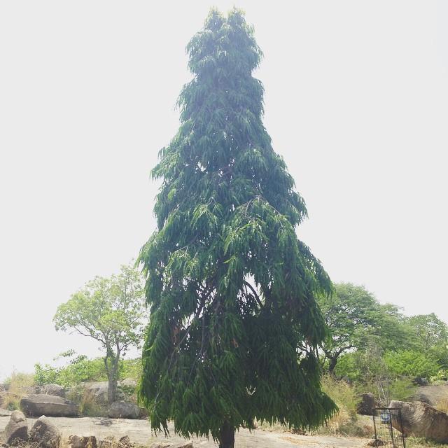 #TreesOfIndia 🌲🔝🌀