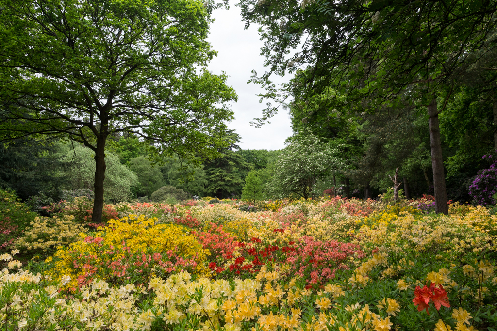 The Azalea Water Gardens  - over 2,000 azalea mollis plants across two acres, filled with meandering waterways, gravel paths and bridges (photograph by Steven Brooks)