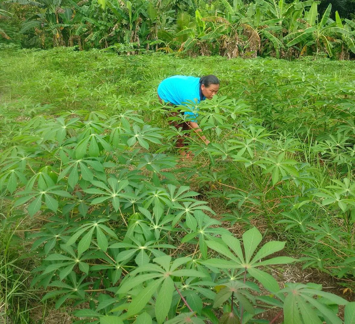 Manual weeding Cassava Farm.jpg