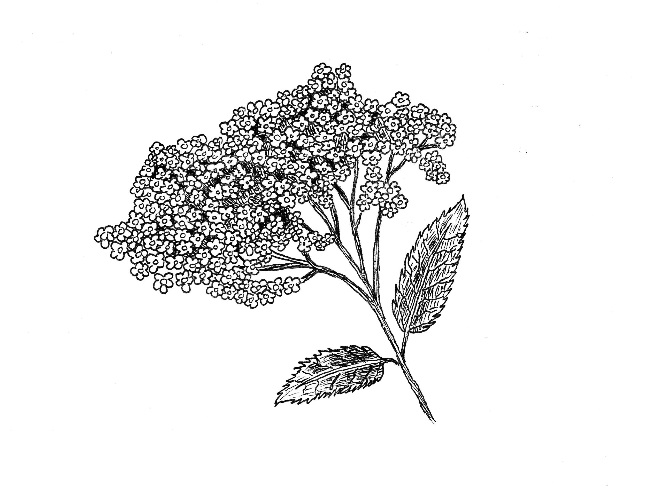 elderflower_sketch