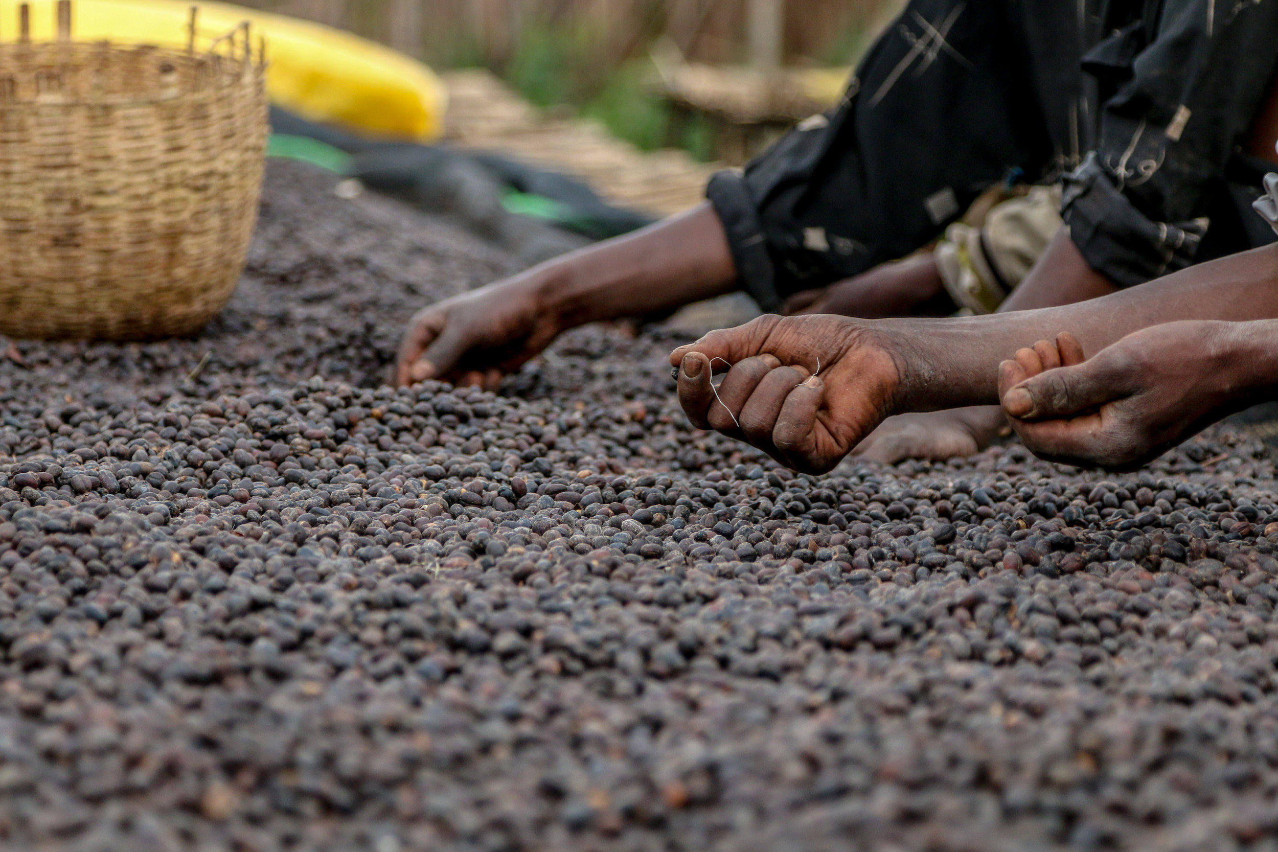 A picture of the natural process in Ethiopia, courtesy of Cafe Imports.