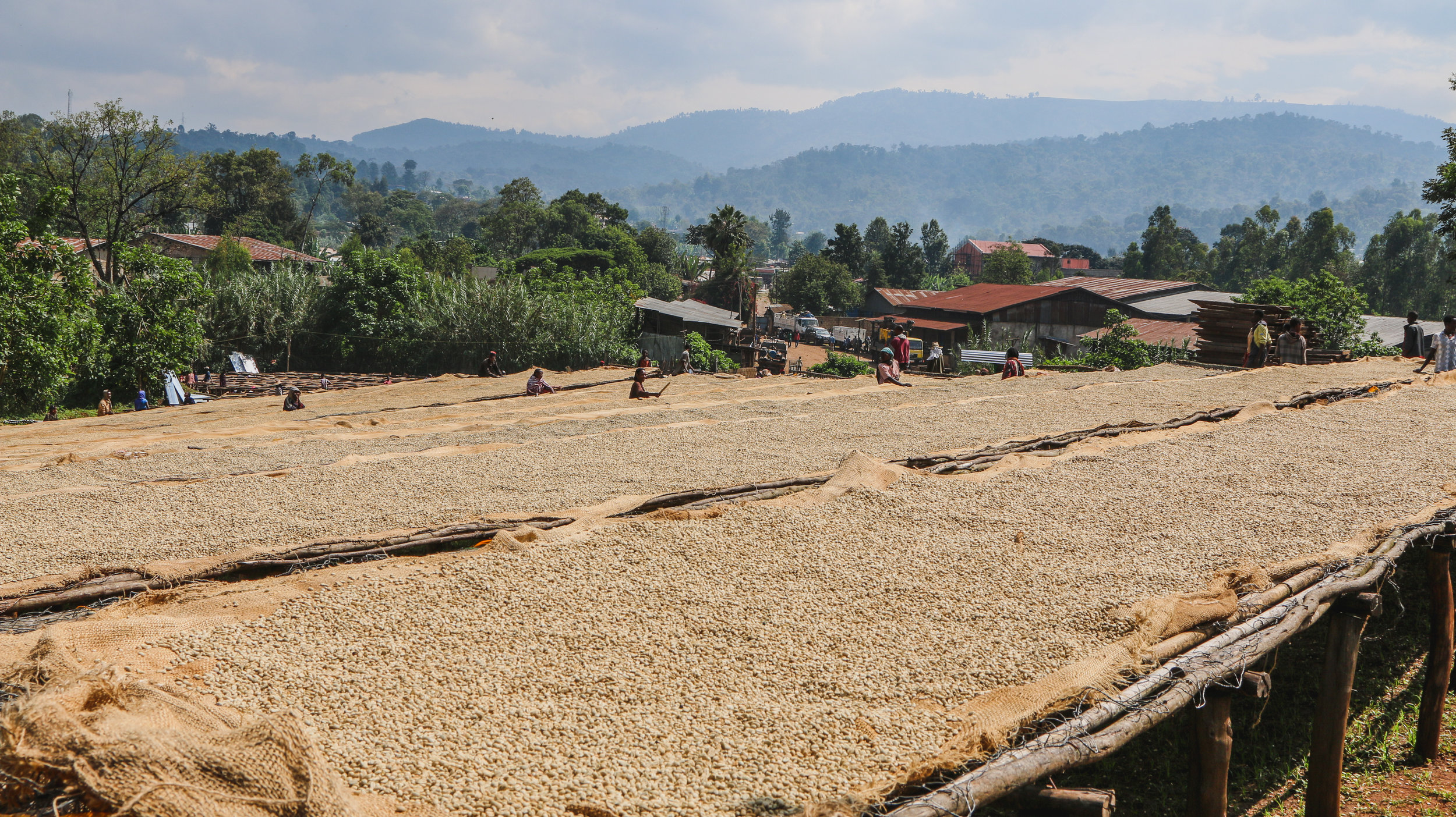 Fully washed Ethiopian coffee on raised drying beds; photo courtesy of Cafe Imports.