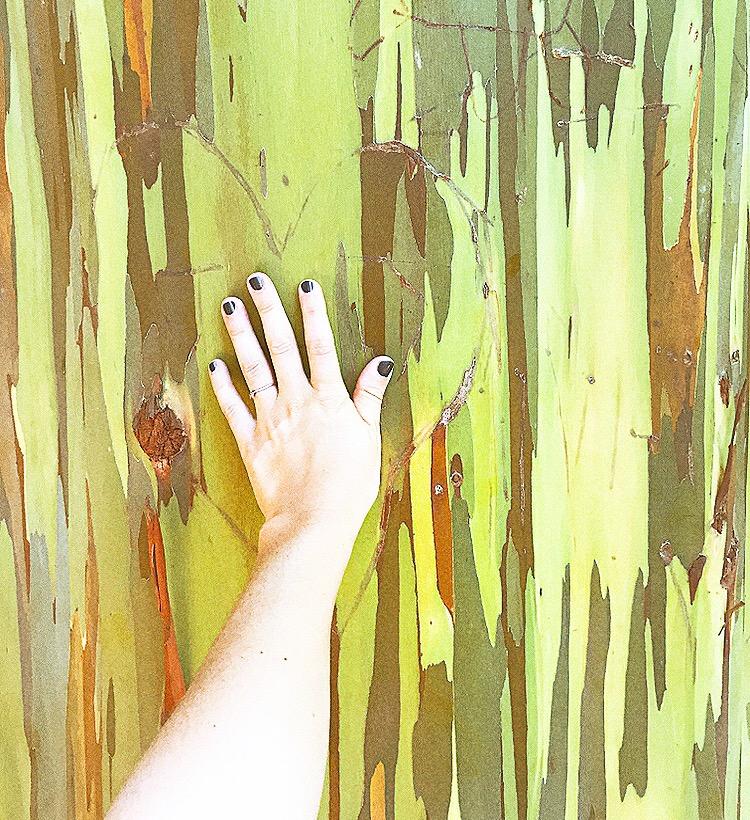 maui rainbow trees