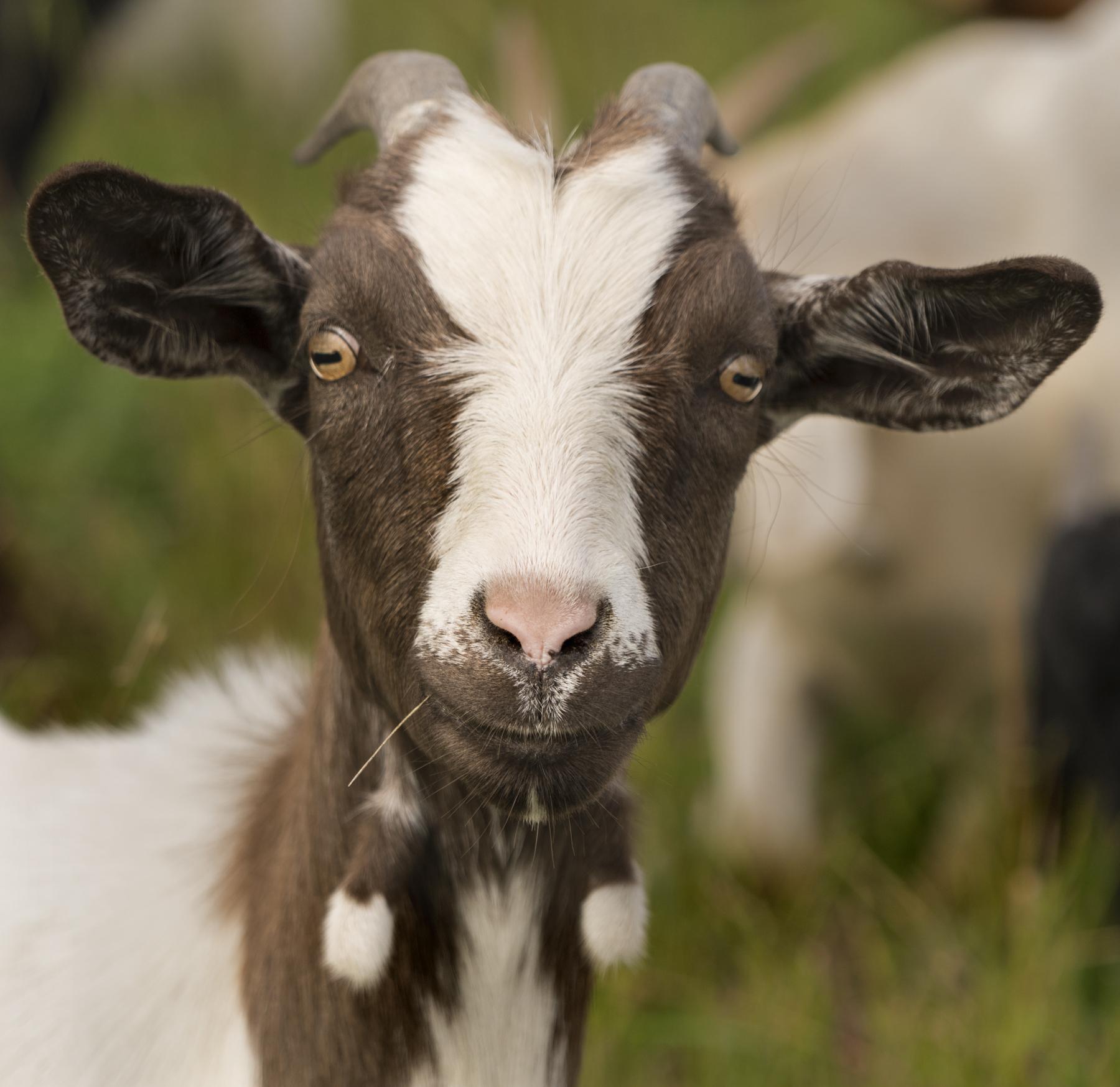 Goat_160817.jpg