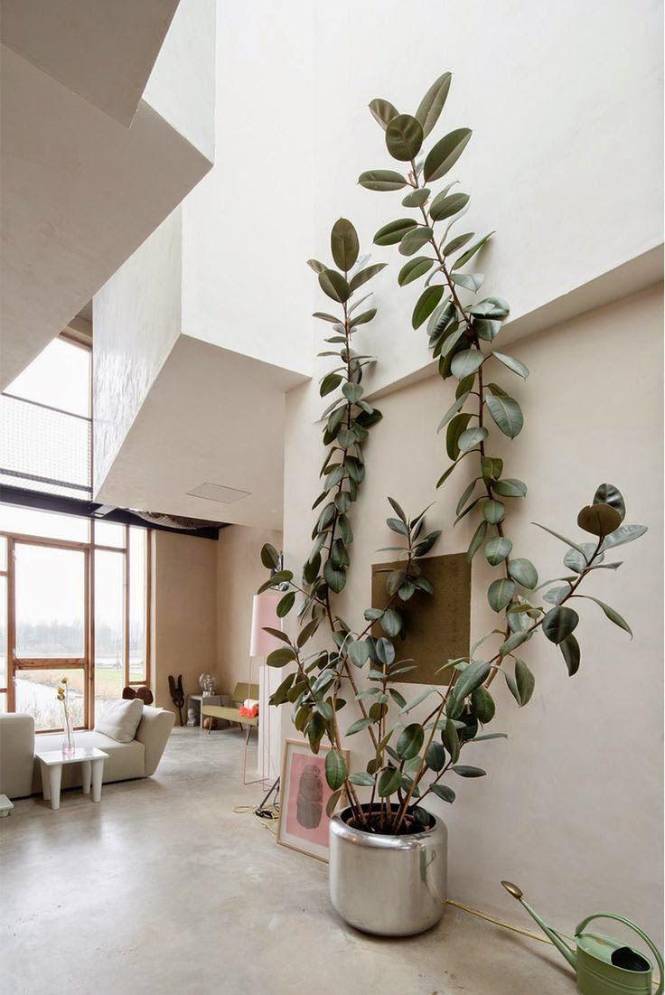 Large Rubber Plant