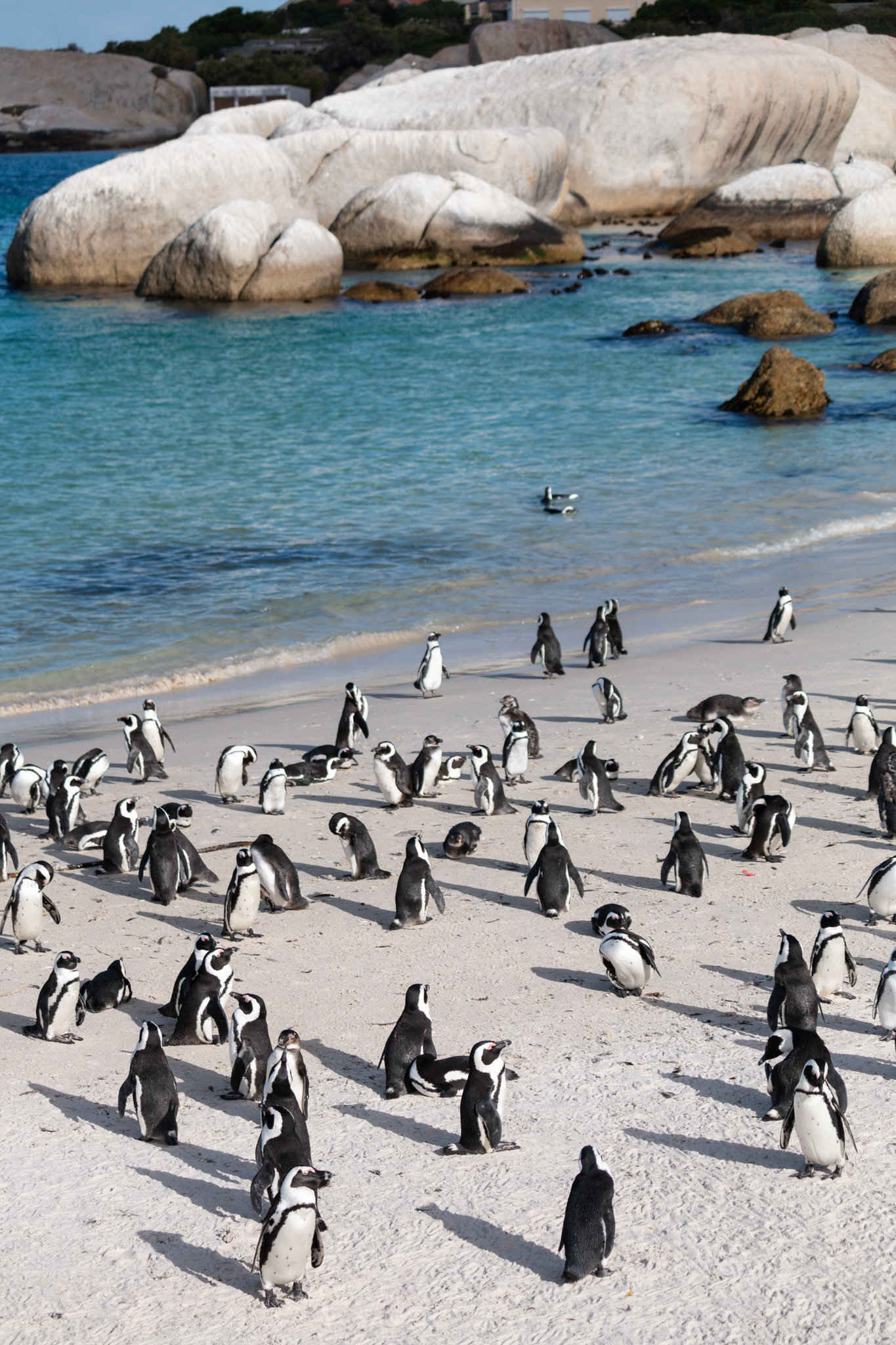 Boulders Penguin Colony | Simon's Town, South Africa | Ciao Fabello