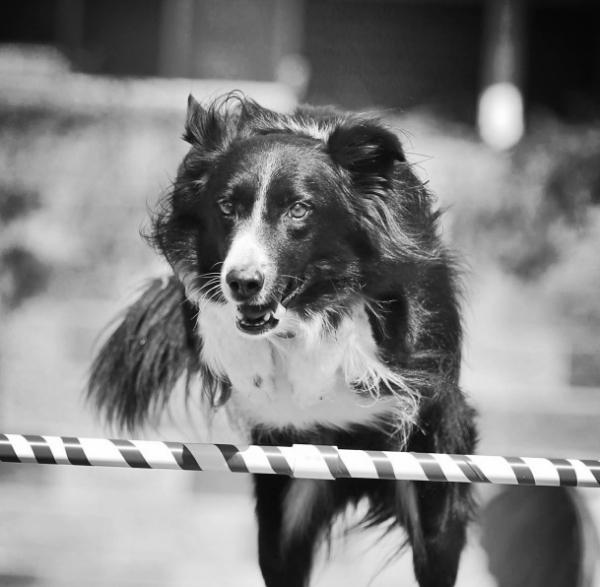dog agility training.jpg