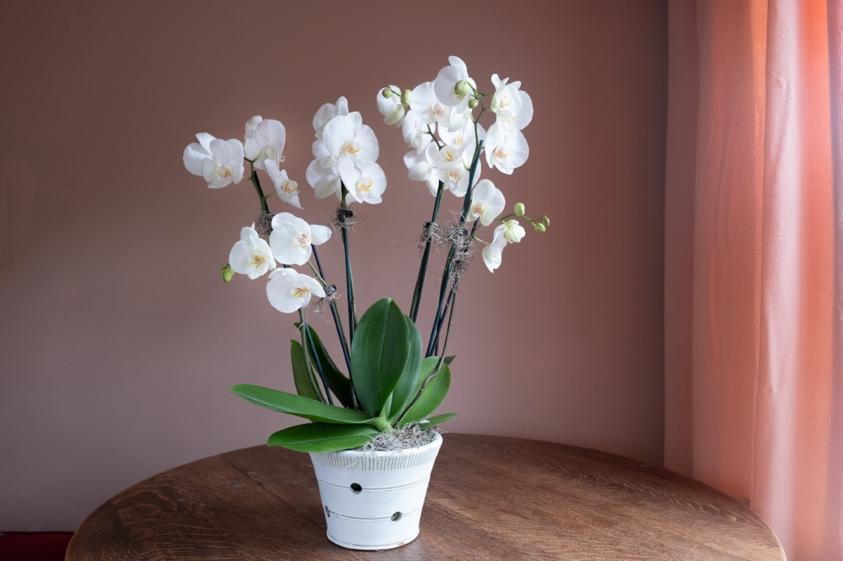 Double Potted Orchid