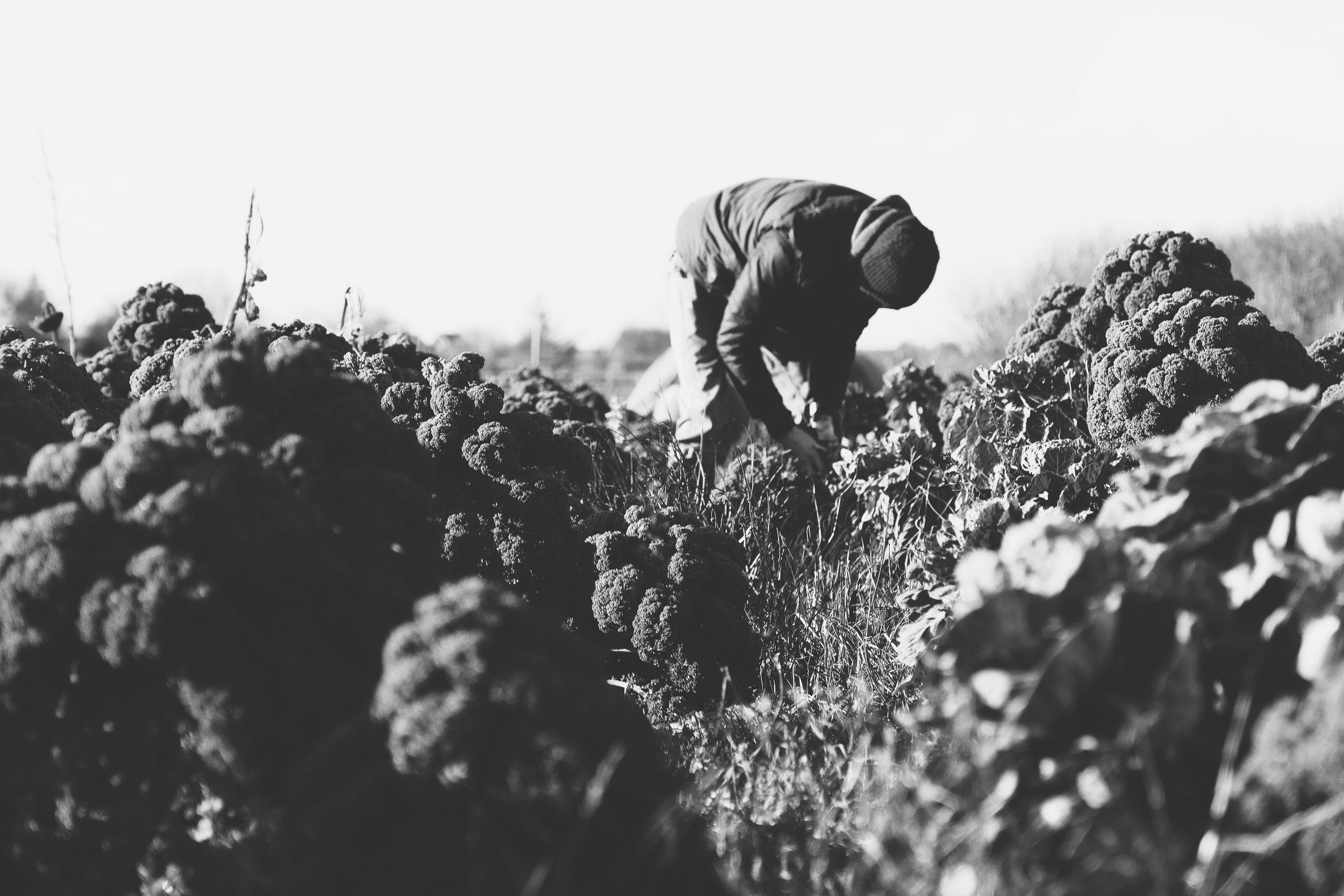 (c) Julz // Diese Haltung hat es in sich: Sohnemann Jens Volquardsen pflückt Grün- und Rosenkohl auf dem Feld des Erdbeerparadies in Braderup.