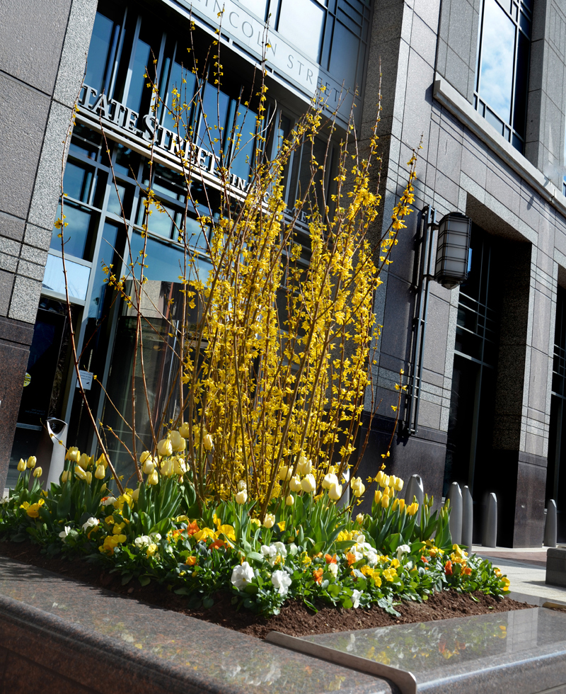 Forsythia. Spring Garden Be. Exterior Design. Harding Botanicals