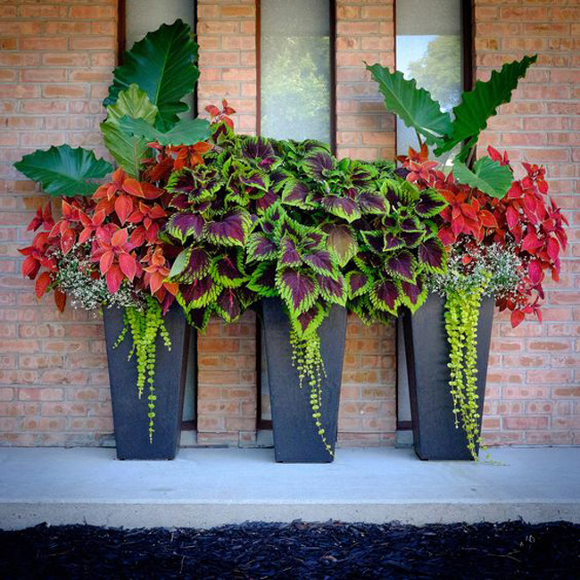 Oh coleus, how we love you!!