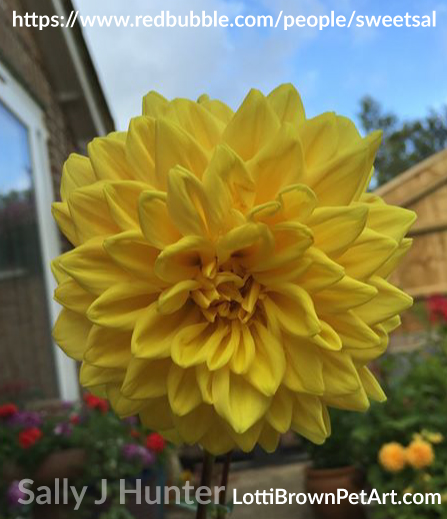Dahlia 'Sunlady' by SweetSal Sally J Hunter