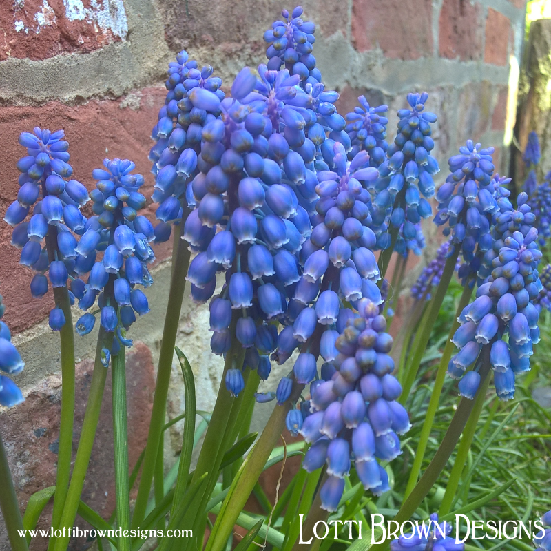 Beautiful blue grape hyacinth flowers
