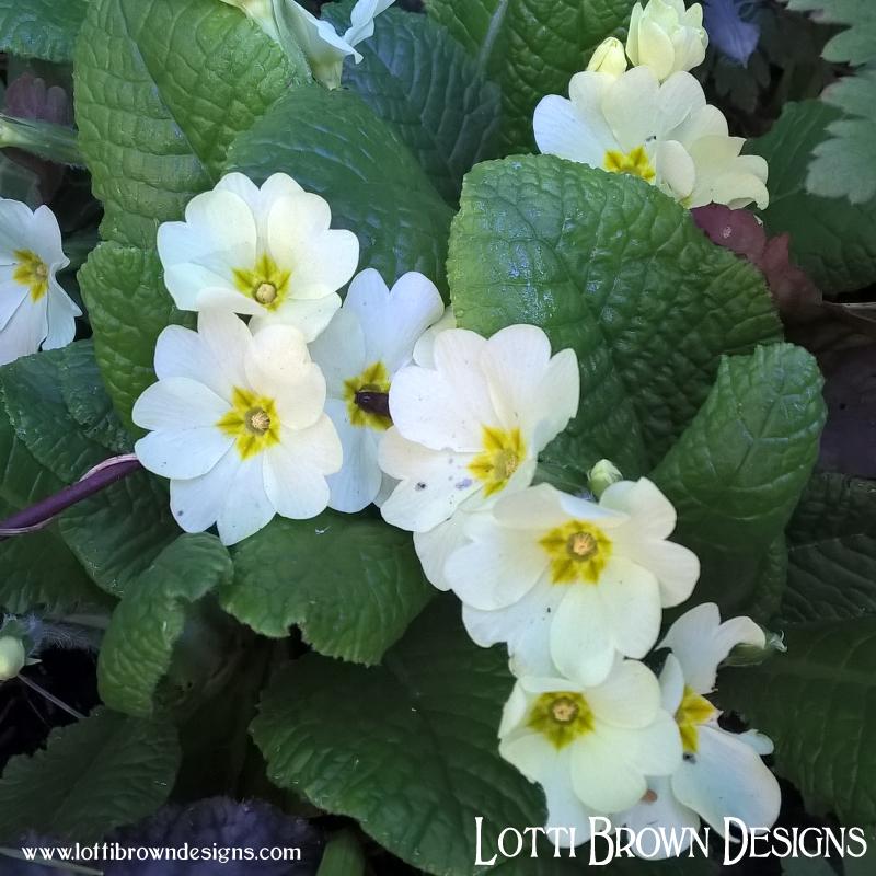 Pretty pale spring primroses in my garden