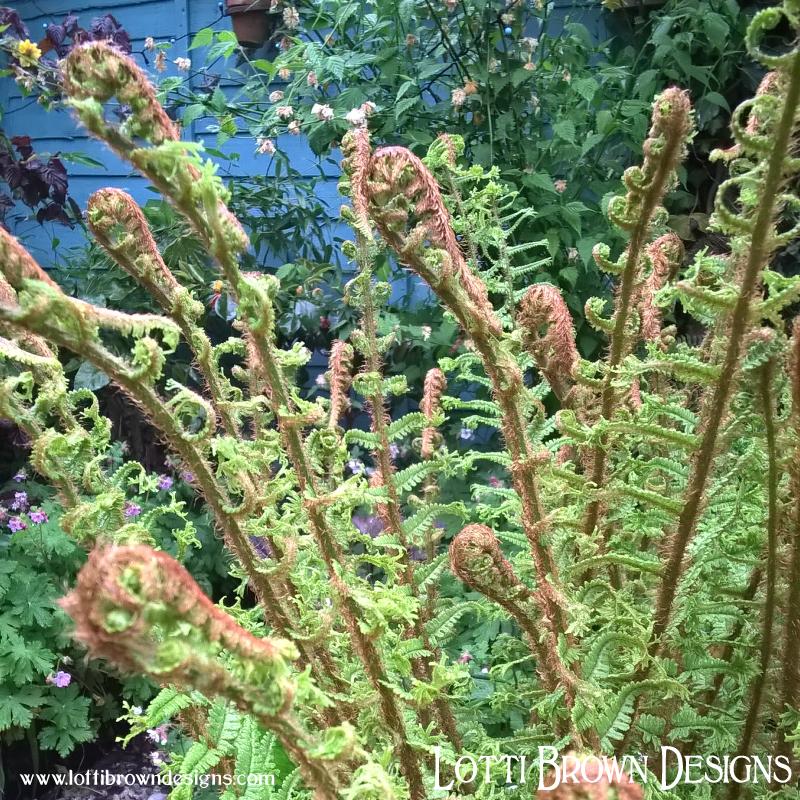 Ferns unfurling in my garden