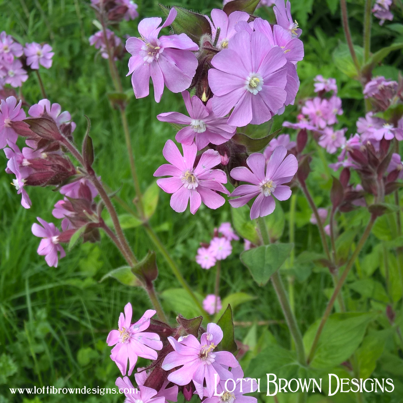 Pink Campion flower (created naturally from White and Red Campion flowers)
