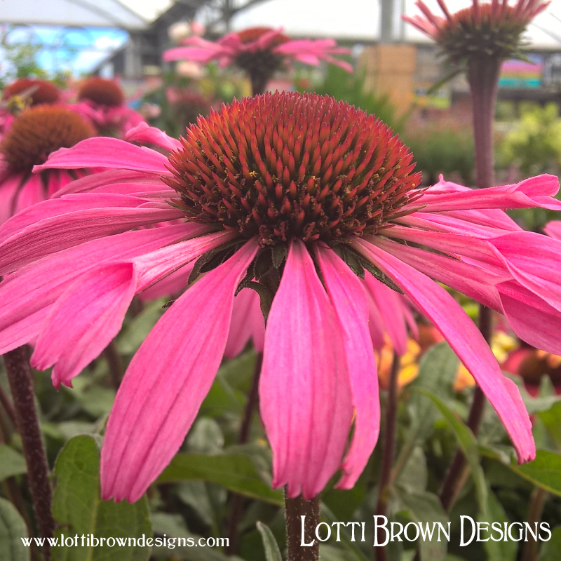 Pink coneflowers - echinacea is sometimes used in herbal remedies for ailments such as colds and sore throats