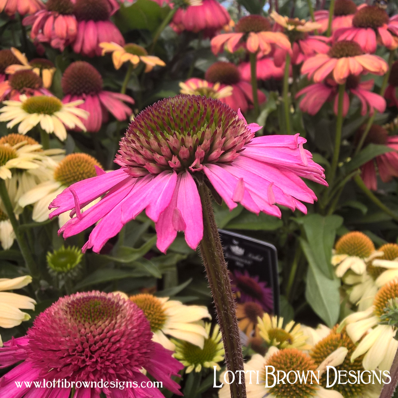 coneflower_photo_3.jpg