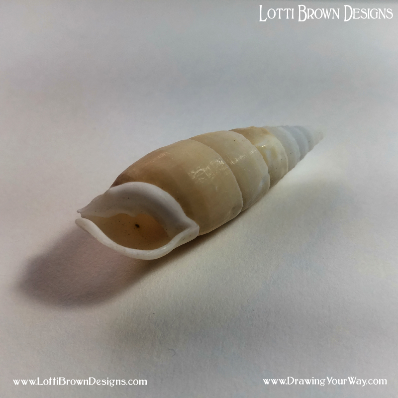 Click on the images to download the shell photos for drawing practice.
