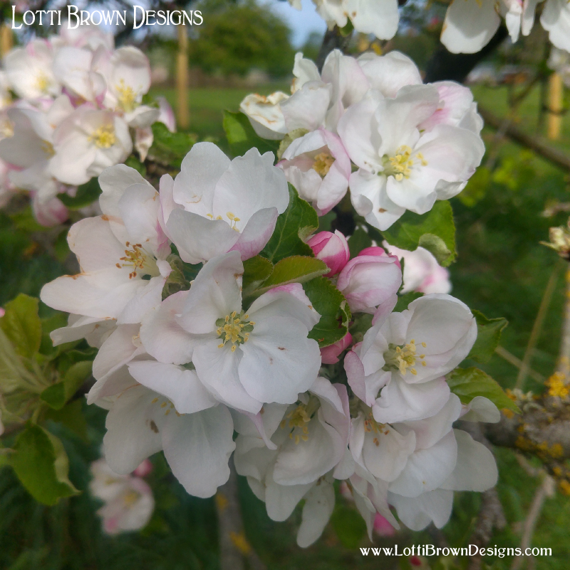 Apple blossoms in an orchard in Somerset