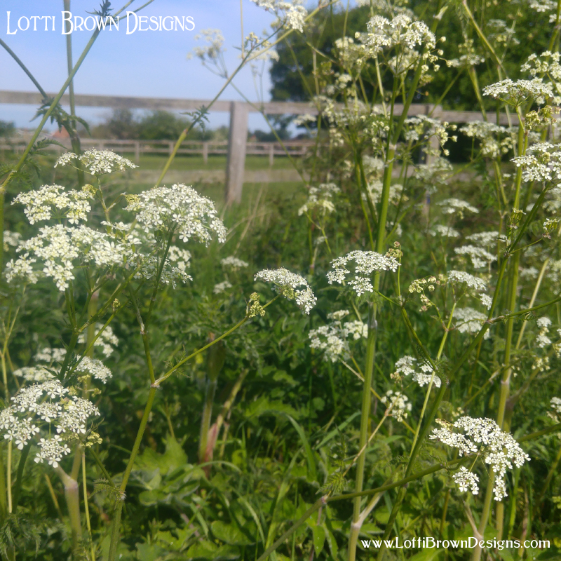 Cow parsley out in the fields