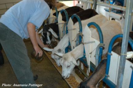Feeding grain prior to milking.