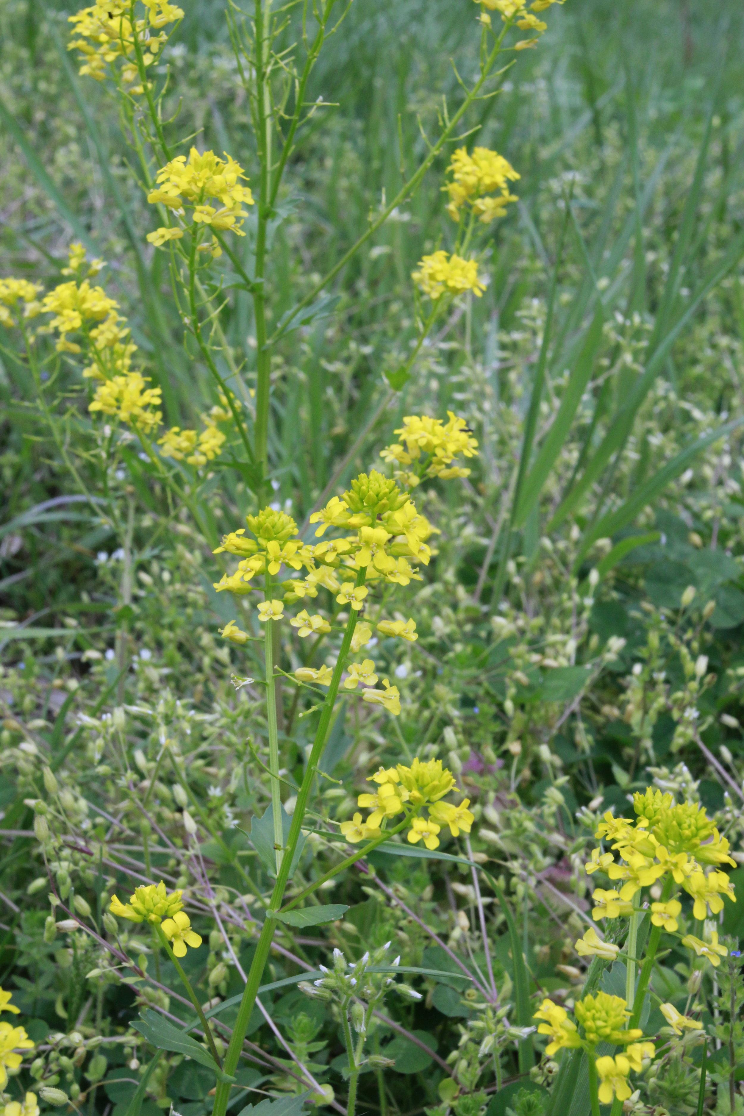 Yellow rocket,  Barbarea vulgaris.