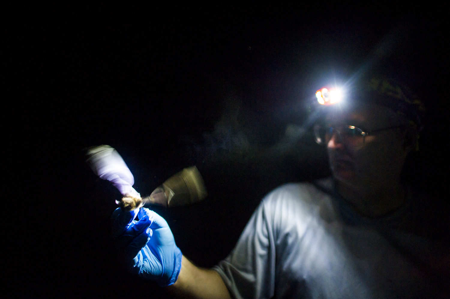 A bat attempts to take flight as a researcher observes its wing damage, a symptom of White-Nose Syndrome.